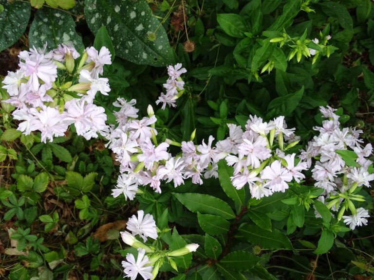 Saponaria flower. Medical Herbalist, Medical Herbalist Books, Medical Herbalist Training, Medical Herbalist Courses, Christina Stapley Medical Herbalist
